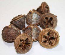 eukaliptusz gomb